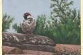 male italian sparrow