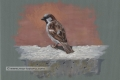 male house sparrow, gouache